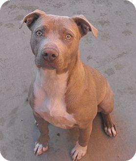 American Pit Bull Terrier Mix Dog for adoption in Farmington, New Mexico - Heidi