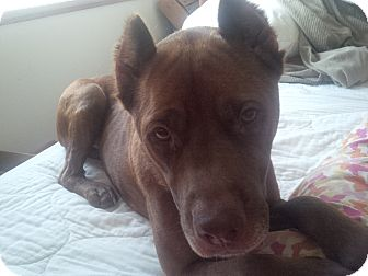 American Staffordshire Terrier/French Bulldog Mix Dog for adoption in Mount Laurel, New Jersey - Tessa