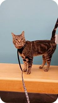 Domestic Shorthair Cat for adoption in Old Bridge, New Jersey - Nas the Wonder Cat!
