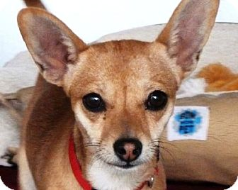 Chihuahua Dog for adoption in Las Cruces, New Mexico - Lucy