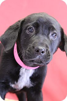 Labrador Retriever Mix Puppy for adoption in Waldorf, Maryland - Frolly