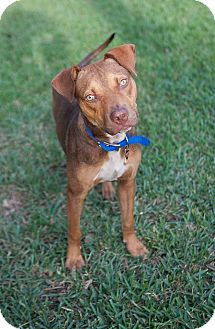 Rat Terrier/Labrador Retriever Mix Dog for adoption in Ft. Myers, Florida - Sam