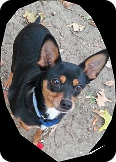Miniature Pinscher/Terrier (Unknown Type, Small) Mix Dog for adoption in Holland, Ohio - Lucy