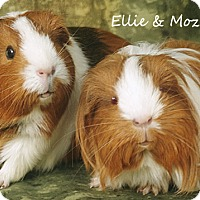Adopt A Pet :: Ellie & Mozzy - Santa Barbara, CA