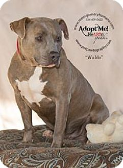 Pit Bull Terrier Mix Dog for adoption in Union Springs, Alabama - Waldo