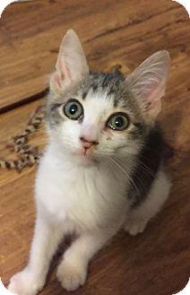 Domestic Shorthair Kitten for adoption in Gainesville, Florida - Jack