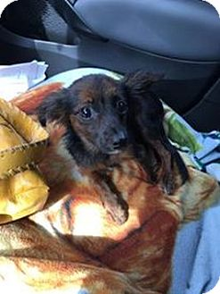 Chihuahua Mix Dog for adoption in Brooksville, Florida - Battina