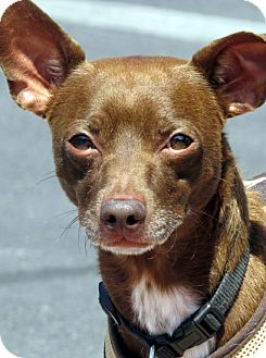 Chihuahua/Dachshund Mix Dog for adoption in Las Vegas, Nevada - Sid