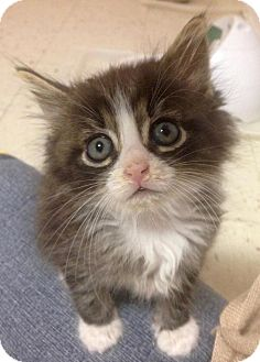 Domestic Mediumhair Kitten for adoption in River Edge, New Jersey - Nash