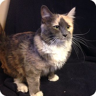 Calico Cat for adoption in Meridian, Idaho - Dolly