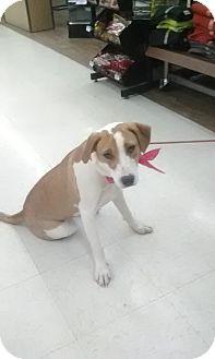 Labrador Retriever/Hound (Unknown Type) Mix Puppy for adoption in Staunton, Virginia - Deidra