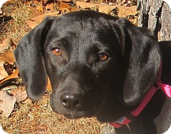 Labrador Retriever/Beagle Mix Puppy for adoption in Foster, Rhode Island - Amie