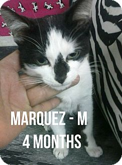 Domestic Shorthair Kitten for adoption in Glendale, Arizona - MARQUEZ