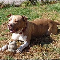 American Pit Bull Terrier Mix Dog for adoption in West Los Angeles, California - Buford