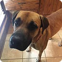 Adopt A Pet :: Duke-B - Austin, TX