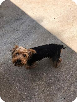 Yorkie, Yorkshire Terrier Dog for adoption in Claremont, New Hampshire - Navy -