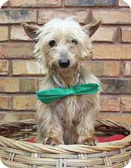 Yorkie, Yorkshire Terrier Mix Dog for adoption in Benbrook, Texas - Harvey