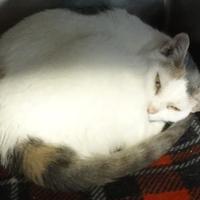 Domestic Shorthair/Domestic Shorthair Mix Cat for adoption in Wellsville, New York - Carmen