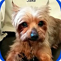 Yorkie, Yorkshire Terrier/Yorkie, Yorkshire Terrier Mix Dog for adoption in Newfield, New Jersey - Jake