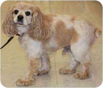 Cavalier King Charles Spaniel Dog for adoption in Gilbert, Arizona - Kasper