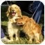 Photo 4 - Golden Retriever/Spaniel (Unknown Type) Mix Dog for adoption in FOSTER, Rhode Island - Tuggles& Puggles