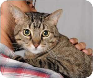 Domestic Shorthair Cat for adoption in Chicago, Illinois - Cheeto