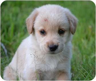Labrador Retriever Mix Puppy for adoption in Foster, Rhode Island - Desna