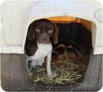 Beagle/Pug Mix Dog for adoption in Lawrenceburg, Tennessee - Molly
