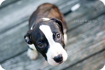 American Pit Bull Terrier Mix Puppy for adoption in Reisterstown, Maryland - Gigi