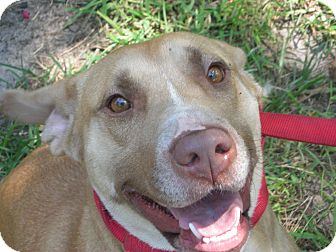 Labrador Retriever/American Pit Bull Terrier Mix Dog for adoption in Fort Valley, Georgia - Blondie
