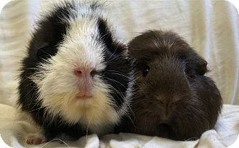 Guinea Pig for adoption in Lewisville, Texas - Ivy and Rose