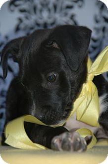 Labrador Retriever/American Pit Bull Terrier Mix Puppy for adoption in Flower Mound, Texas - Stevie Nicks