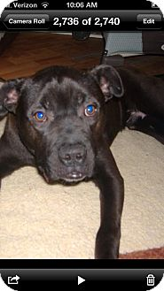 Pit Bull Terrier/Boxer Mix Puppy for adoption in Pittsburgh, Pennsylvania - Rally