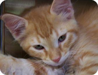 Domestic Shorthair Kitten for adoption in Grants Pass, Oregon - London