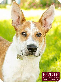 Australian Cattle Dog/Pharaoh Hound Mix Dog for adoption in Marina del Rey, California - Max