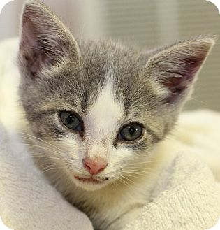 Domestic Shorthair Kitten for adoption in Winston-Salem, North Carolina - Finn C