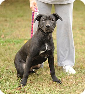 Labrador Retriever Mix Puppy for adoption in Hollis, Maine - Jaco ***adoption pending****