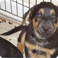 Adopt A Pet :: Rotti - Washington, NC