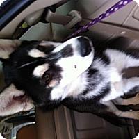Adopt A Pet :: 4 puppies - batlett, IL