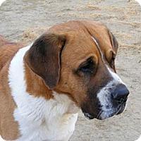 Adopt A Pet :: Harley - Sparks, NV