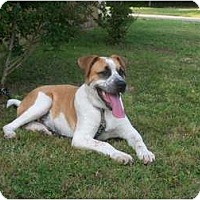 Adopt A Pet :: Missy - Glastonbury, CT