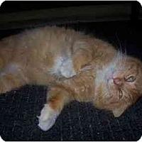 Adopt A Pet :: Stoop FIV+ - Clementon, NJ