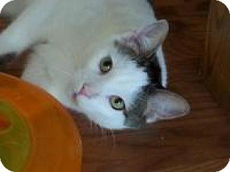 Domestic Shorthair Cat for adoption in Sheboygan, Wisconsin - Cow