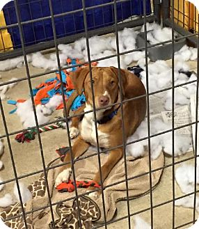 Vizsla/Labrador Retriever Mix Dog for adoption in Enid, Oklahoma - River
