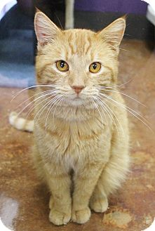 Domestic Shorthair Cat for adoption in Benbrook, Texas - Charlie