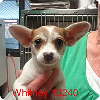 Adopt A Pet :: Whitney - Greencastle, NC