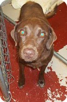 Labrador Retriever Mix Dog for adoption in Silver City, New Mexico - Mia