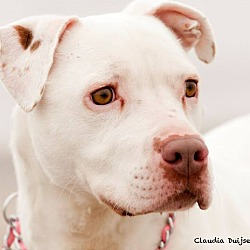 Photo 2 - American Pit Bull Terrier/American Bulldog Mix Dog for adoption in West Warwick, Rhode Island - Ghost - Updated!