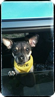 Chihuahua/Pug Mix Dog for adoption in Mesa, Arizona - LEO 1 YR CHI TERRIER PETCO SAT