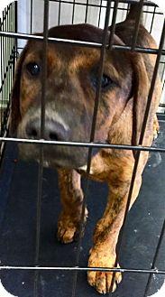 Mastiff/Rottweiler Mix Puppy for adoption in Oswego, Illinois - I'M ADOPTED Diesel Moerdick